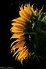 Sunflower-June_22,_2012IMG_4091untitled