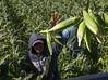 Sweet Corn Pappas Harvest_N5A8565