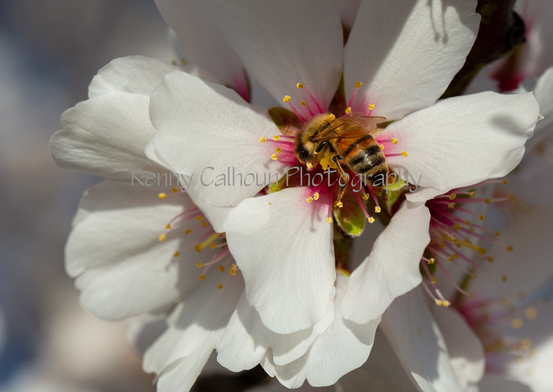 Almond Blooms 2-22-20-1815