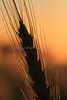 Wheat At Sunrise 7