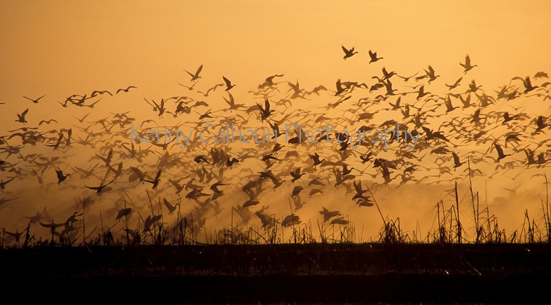 Rising Geese and Sunset