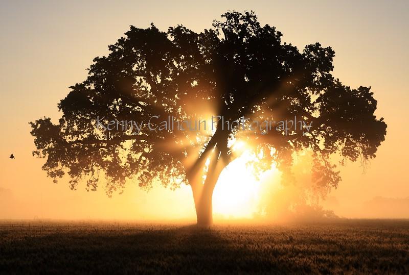 Oak Tree, Black Bird, Wheat and Fog