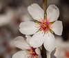 Almond Blooms 2-22-20-1536