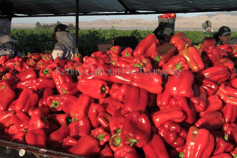 IMG_4815Lamyuo_Pepper_Harvest