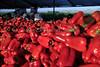 IMG_4821Lamyuo_Pepper_Harvest