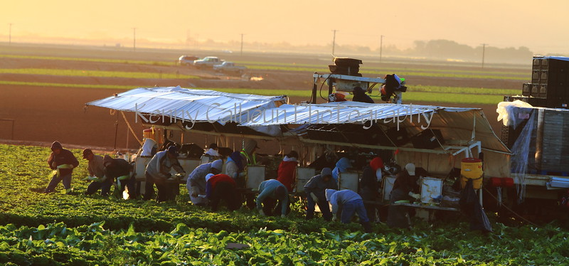 Lettuce Harvest at Sunrise in Yuma 2