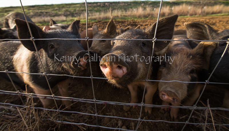 Pigs and Hogs 3-9-18-2822