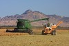 Rice Harvest and the Buttes 1