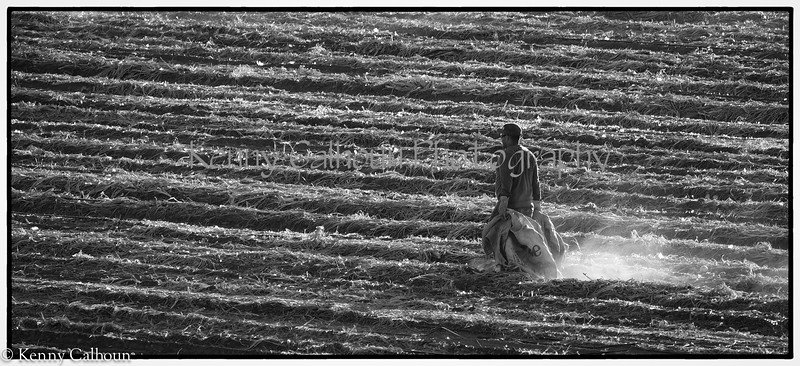 Onion_Harvest_Andersons-August_02,_2012IMG_0015untitled