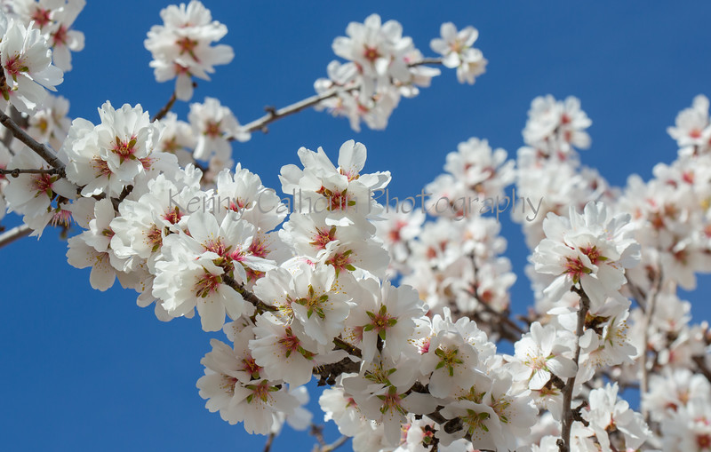 Almond Blooms 2-21-20-1160