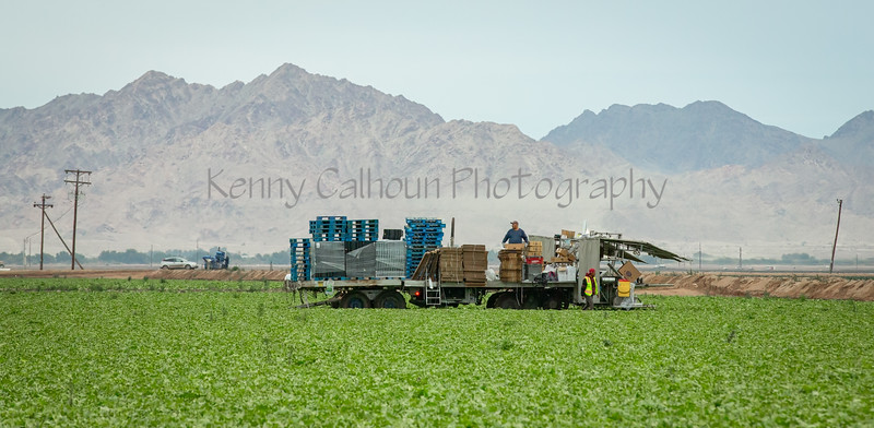 Yuma Lettuce Harvest--4