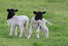 IMG_2301BlackHeadedLambs