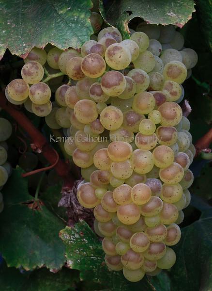 IMG_57819-11_Mullers_Grapes