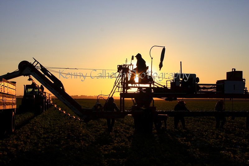 Rose Valley Honeydew Harvest at Sunrise