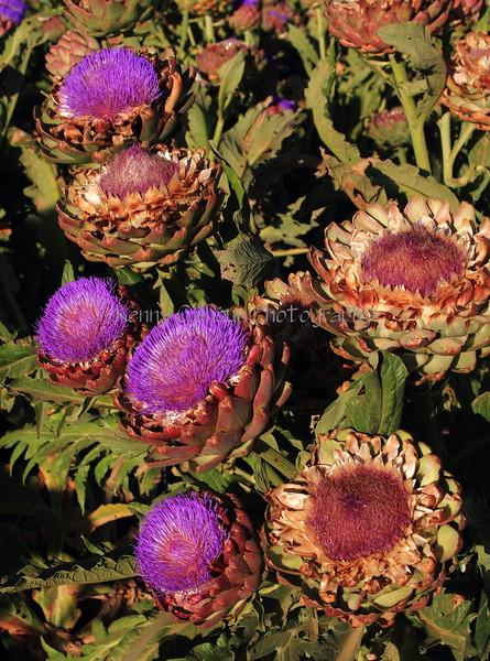 Artichoke Blooms 1