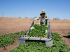 Yuma Spinach 11-4-4986-2