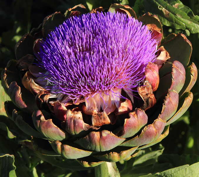 Artichoke Blooms 5