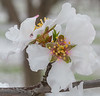 Almond Blooms_N5A0219