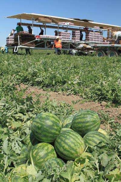 IMG_0106_Harvesting_Mini_Watermelons