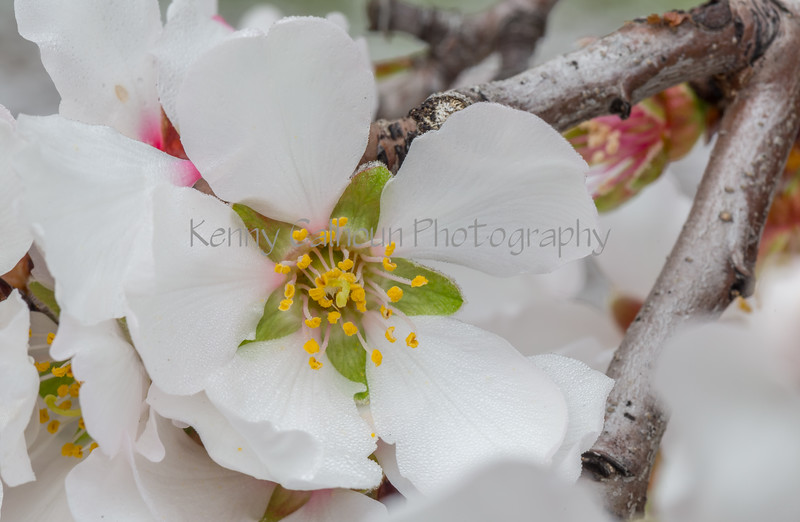 Almond Blooms_N5A0169-Edit