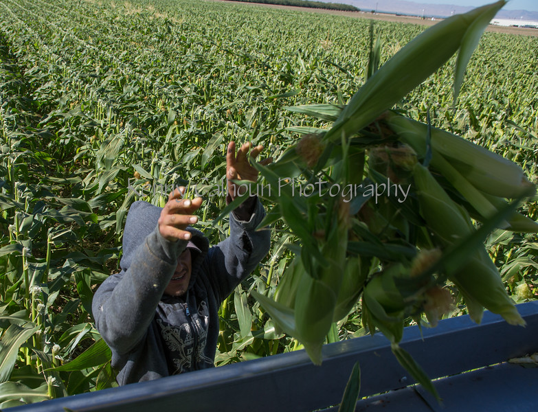 Sweet Corn Pappas Harvest_N5A8582