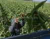 Sweet Corn Pappas Harvest_N5A8582
