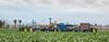 Yuma Lettuce Harvest--10