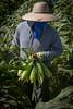 Sweet Corn Pappas Harvest_N5A8605