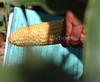 Sweet Corn Evaluation 1