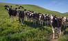 Happy California Cows_N5A4774