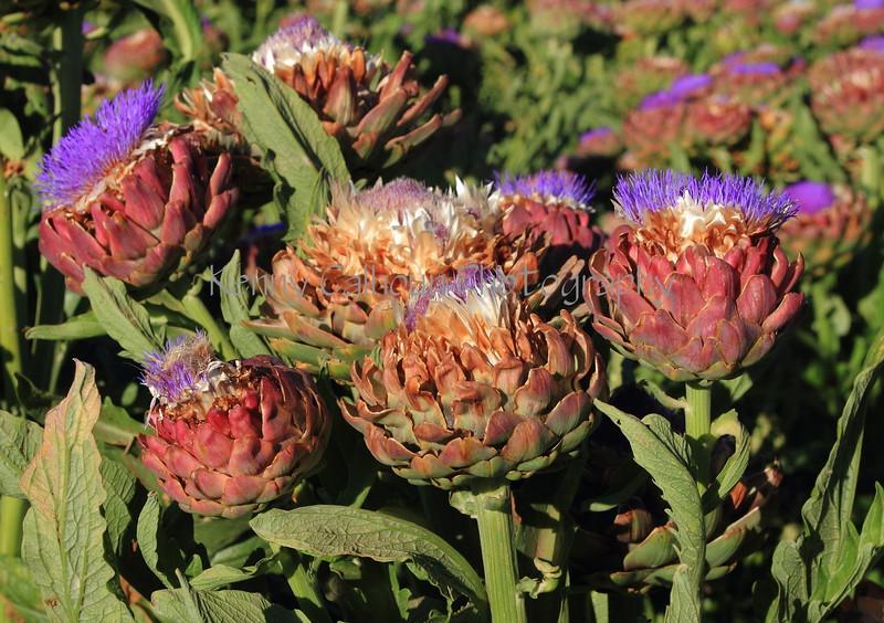 Artichoke Blooms 3
