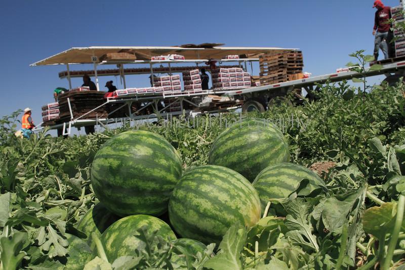 IMG_0109_Harvesting_Mini_Watermelons