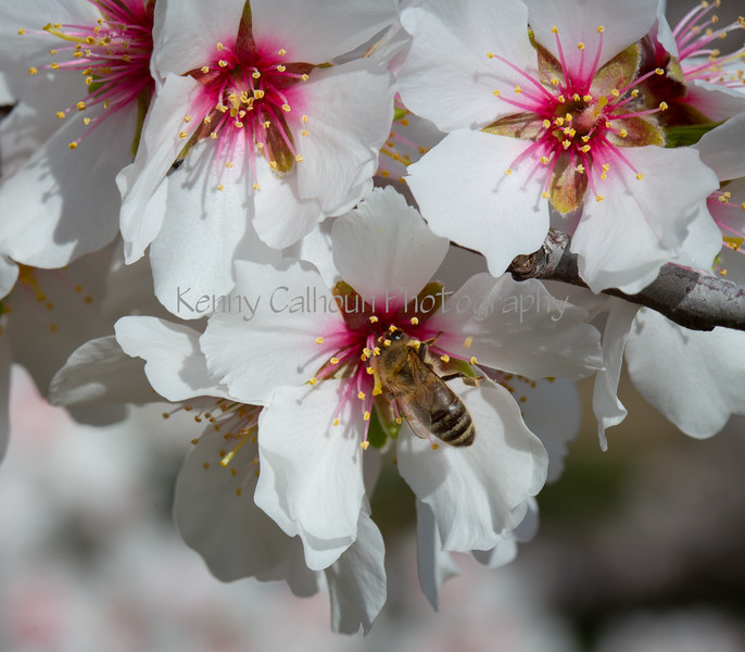 Almond Blooms 2-21-20-1092