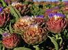 Artichoke Blooms 2