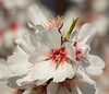 Almond Blooms 2-22-20-1602