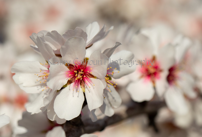 Almond Blooms 2-22-20-1648