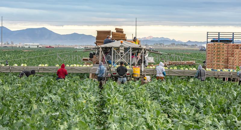 Yuma Cauliflower Harvest 12-18--4