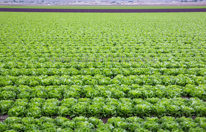 Yuma Lettuce Harvest--2