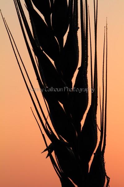 Wheat At Sunrise 10