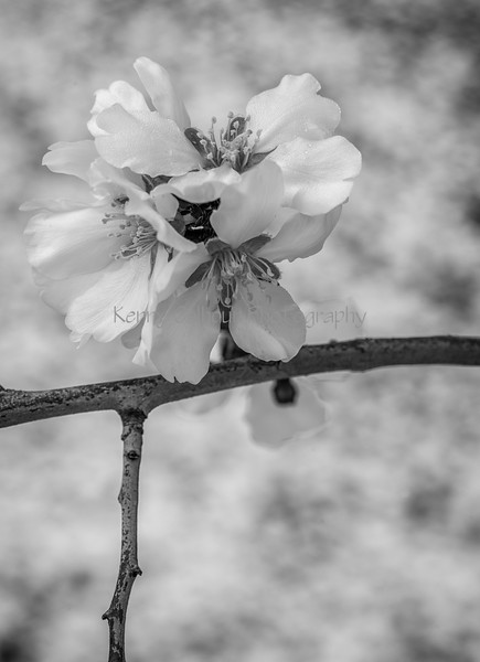 Almond Blooms_N5A0235-Edit-Edit
