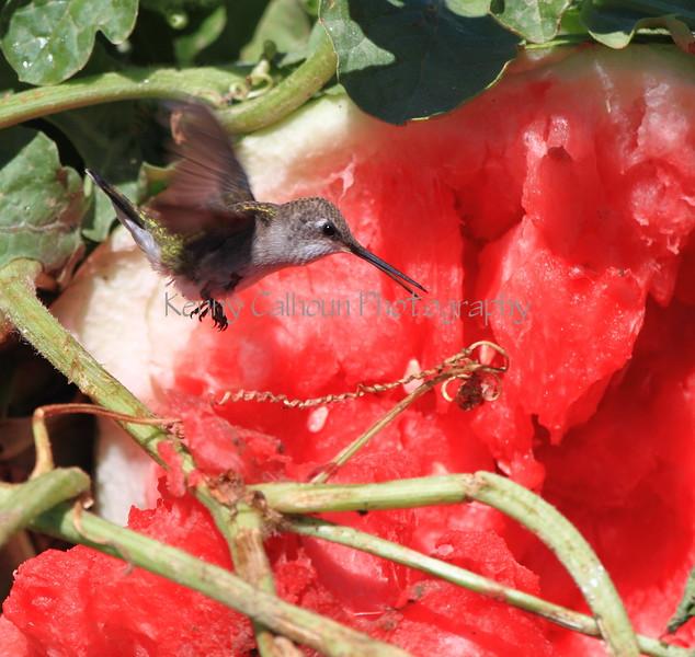 Hummingbird and Watermelon 4