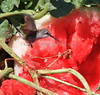 Hummingbird and Watermelon 4