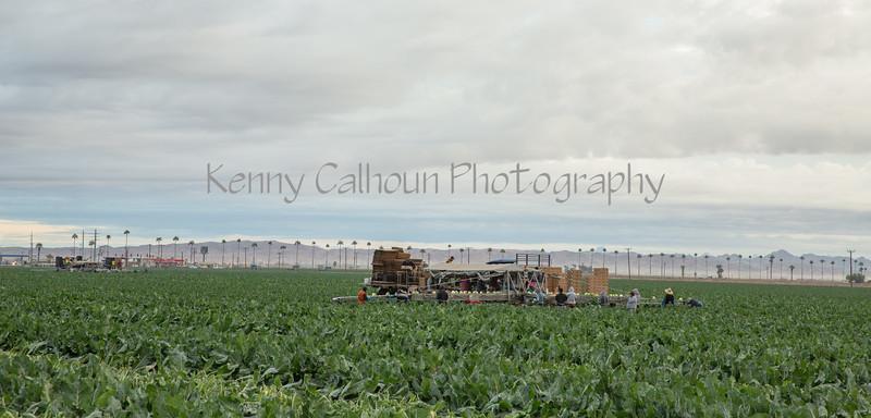 Yuma Cauliflower Harvest 12-18-4385