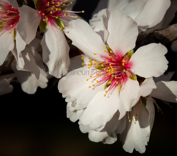 Almond Blooms 2-22-20-1494