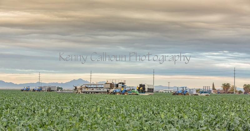 Yuma Cauliflower Harvest 12-18--7