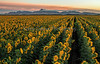 Buttes and Sunflowers_N5A6327-Edit