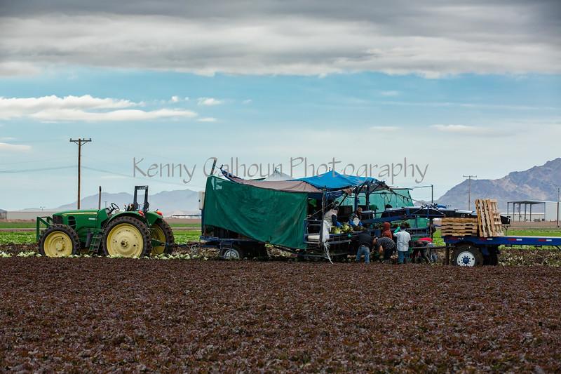 Yuma Lettuce Harvest--9