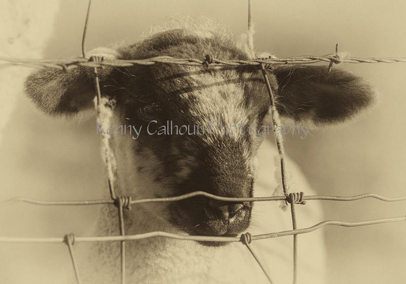 3-2-16 Yolo Sheep Twins_N5A3099-Edit-Edit