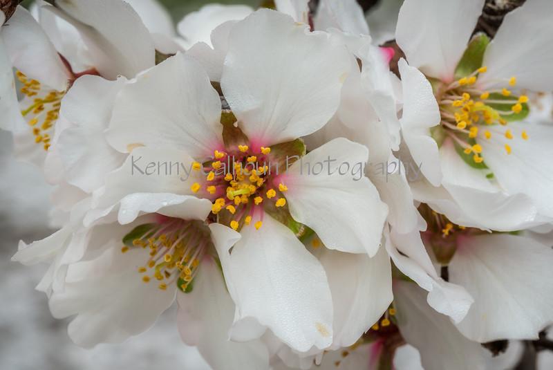 Almond Blooms_N5A0173-Edit