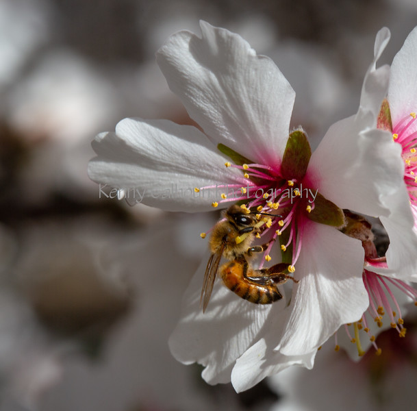 Almond Blooms 2-21-20-1209